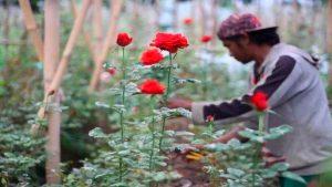 grosirdekorasi-menanam bunga mawar